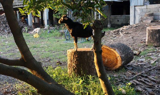 goat climbing wood